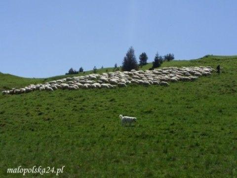 Na hali pod Durbaszką nadal pasą się owce.