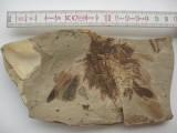 Rzadki okaz skamieniałego ptaka zachowanego wraz z upierzeniem. Fot. Robert Szybiak.