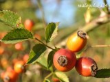 Ulubienica jesieni