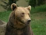 Ze względu na warunki niedźwiedzie mają problem ze znalezieniem wystarczających ilości pożywienia. Źródło: Wikipedia.