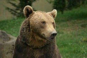 Niedźwiedź niedzwiedz