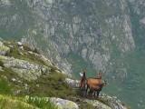 Populacja kozic w Tatrach największa od 50 lat