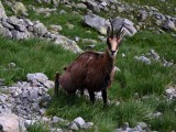 Wiemy ile kozic żyje w Tatrach