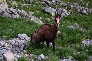 Rupicapra rupicapra kozica w Tatrach