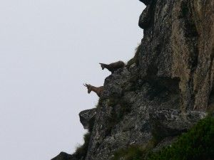 Rupicapra rupicapra kozice w Tatrach