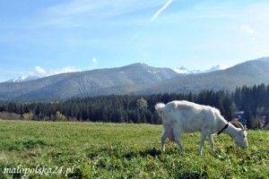 Koza i Karpaty. Czy koza karpacka ma szansę wrócić do tego górskiego krajobrazu?