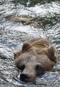 Niedźwiedź brunatny małopolska bieszczady beskid niski
