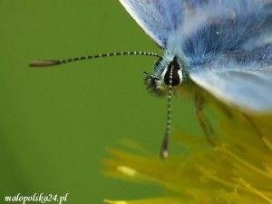 motyl, modraszkowate