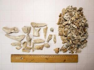 Szczątki konia podczas analizy, fot. Ł. Miechowicz