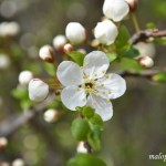 Kwiat tarniny