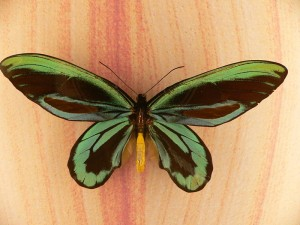 Samiec Ornithoptera alexandrae