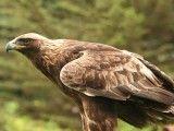 Jedyne piskle orła przedniego
