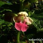 Midownik melisowaty Melittis melissophyllum