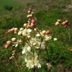 Wiązówka bulwkowata Filipendula vulgaris