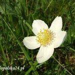 Zawilec wielkokwiatowy Anemone sylvestris