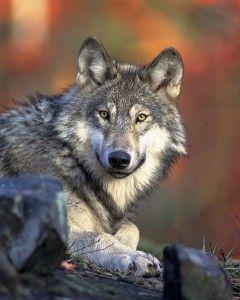 Wilk Małopolska