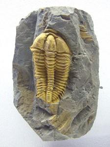 Trylobit. Wystawa paleontologiczna w Muzeum Narodowym w Pradze.