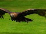 Podkarpackie orły przednie tokują