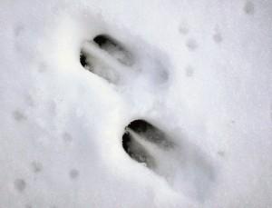 Tropy sarny na śniegu.