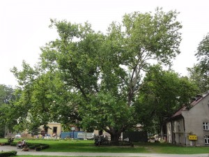 Platan w miejscowości Kozy w województwie śląskim. Drzewo startuje w konkursie o tytuł Europejskiego Drzewa Roku. Platan został już polskim Drzewem Roku 2012. Foto: Wikipedia.