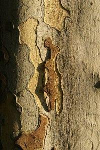 Charakterystyczna, łuszcząca się w postaci cienkich tarczek kora Platana. Foto: Wikipedia.