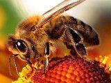 Pszczoła. Foto: Maciej Czyżewski, Creative Commons