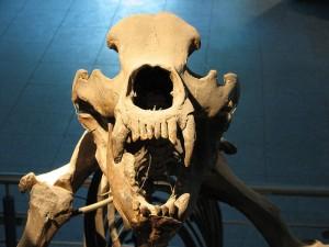 Szkielet Niedźwiedzia jaskiniowego, Muzeum w Brnie.