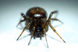 Zyzuś Tłuścioch pająk małopolska