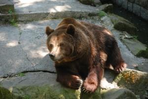 Niedźwiedź brunatny. Foto: Bartosz Pawlica, Creative Commons