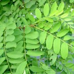 robinia akacjowa, grochodrzew