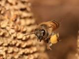Pszczoła miodna niosąca pyłek. Foto: Muhammad Mahdi Karim, Creative Commons.