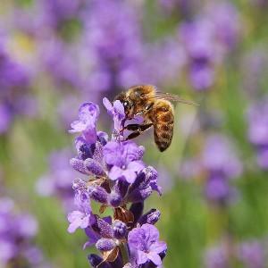 pszczoła ul
