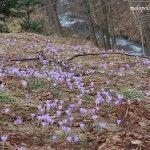 Krokusy na polanie w Rzykach Jagódkach w 2009 roku