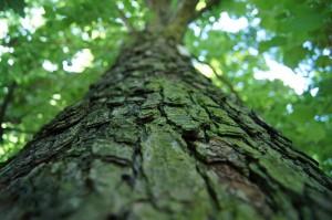 drzewa przenoszenie materiału genetycznego