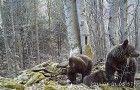 © B.Pirga 2014. Amatorzy wilczej zdobyczy (kadr z materiału multimedialnego).