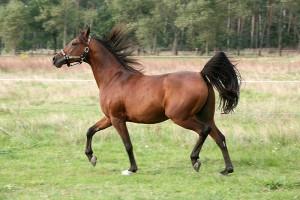 Konie - pasja Witolda Czartoryskiego