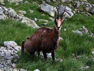 Kozice w Tatrach 2015