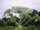 Barszcz Sosnowskiego jest rośliną monokarpiczną. Oznacza to, że  przechodzi on jednorazowo fazę generatywną, tj. tylko raz wydaje owoce i nasiona, po czym obumiera. Nie rozmnaża się wegetatywnie. W optymalnych warunkach rozwoju jest to roślina dwuletnia, jednak gdy jakiś czynnik przeszkodzi w zakwitnięciu i wydaniu nasion, może rosnąć 3 lub nawet 4 lata. Barszcz jest niesłychanie plenny, może wytworzyć do 20 tysięcy owoców, tzw. rozłupek zawierających po dwa nasiona, czyli łącznie 40 tysięcy nasion. Ocenia się, iż rośliny z jednego hektara mogą wydać ilość nasion wystarczającą na obsianie 100-200 hektarów. Autor zdjęcia: Hugo.arg. Źródło: Wikipedia