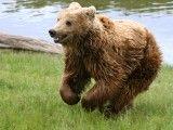 Niedźwiedź. Źródło: Wikipedia.
