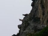 W Tatrach rekordowa liczba kozic