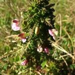 Gnidosz błotny Pedicularis palustris
