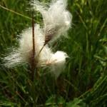 Wełnianka Eriophorum sp