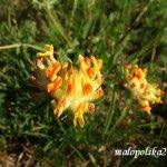 Przelot pospolity Anthyllis vulneraria