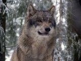 Naukowcy poznali geny polskich wilków