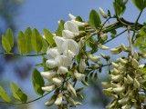 Kwiaty robinii akacjowej (grochodrzewu). Foto:  Radio Tonreg, Creative Commons