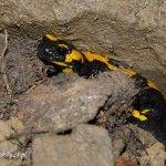 salamandra plamista w Beskidzie Małym